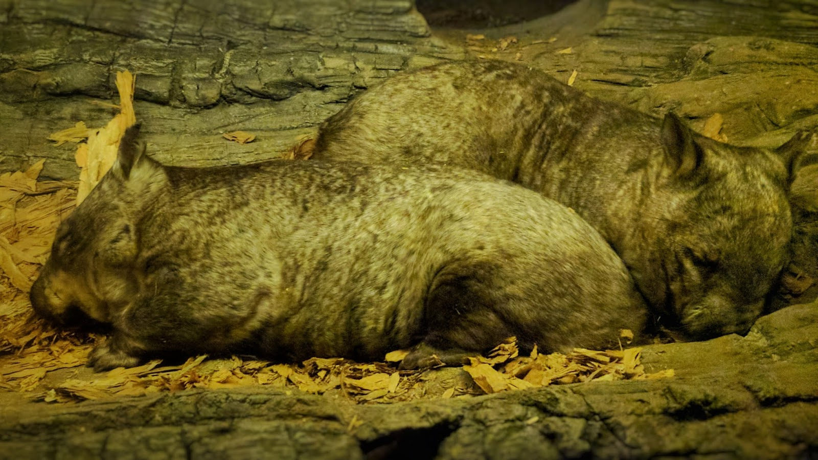 Two Northern hairy-nosed wombats