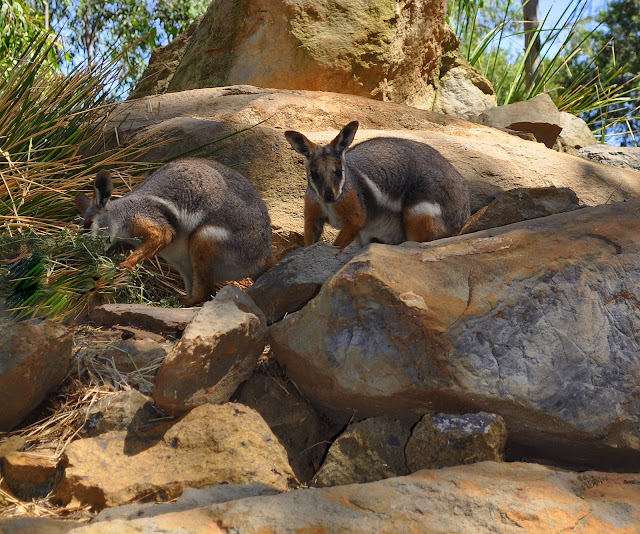 Petrogales (ou wallabies des rochers = Petrogale concinna). Mount Kuring-gai (NSW, Australie), 5 mars 2009. Photo : Barbara Kedzierski