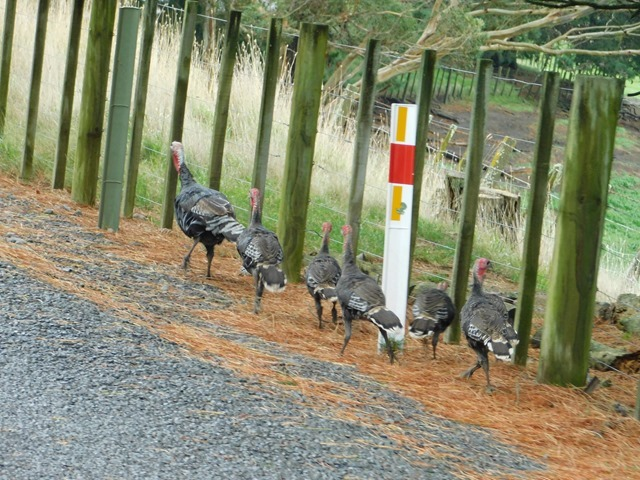 C6_NZ NI Turkeys_2018-04-29_DSCN9233