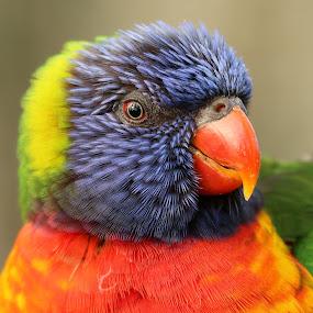 Lorikeet by Ralph Harvey - Animals Birds ( wildlife, ralph harvey, birds, lorikeet, longleat safari park )