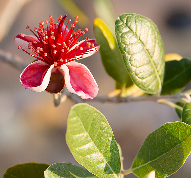 close-up photo of a strawberry guava bloom
