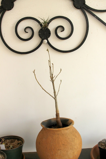 Andansonia digitata : Baobab _MG_4739