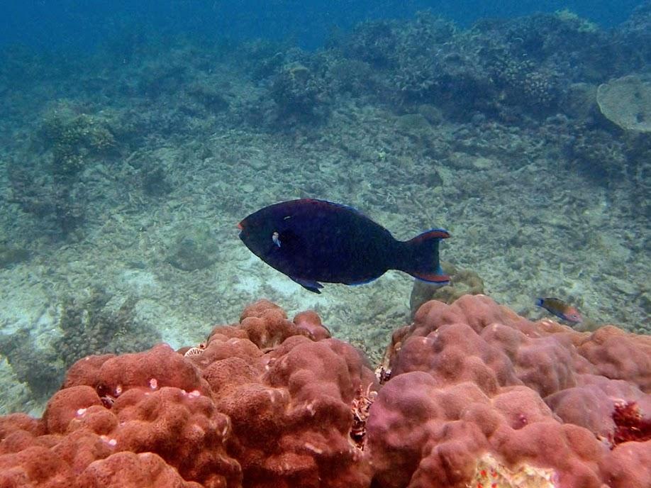 Scarus niger (Black Parrotfish), Miniloc Island Resort reef, Palawan, Philippines.