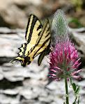 Papilio alexanor.9.jpg