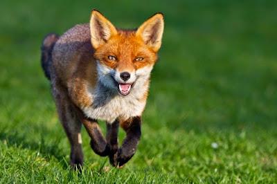 fox%2Brunning.jpg