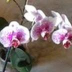 orchidii.jpg