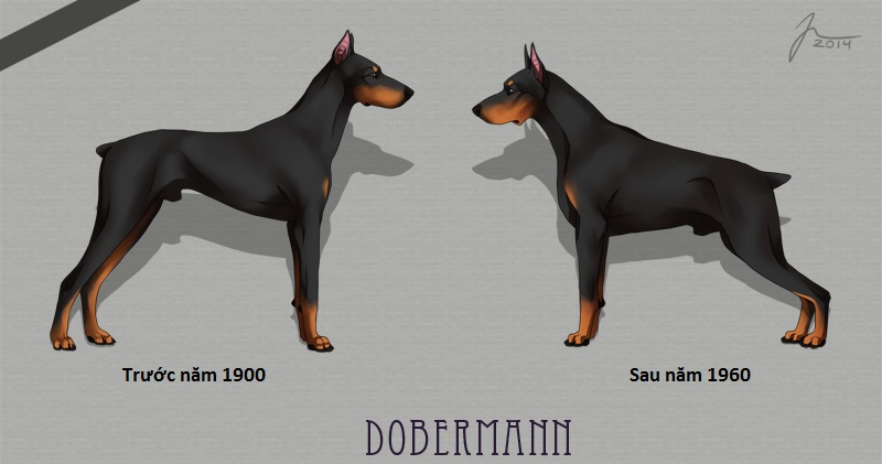 Giống chó Doberman Pinscher thuần chủng. Cách nuôi chó Doberman ở Việt Nam