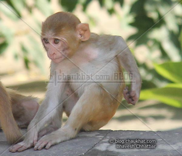 Monkeys of Jaipur - Baby monkey scratching its back