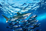 Longimanus with pilot fish, Daedalus reef (© 2015 Bernd Neeser)