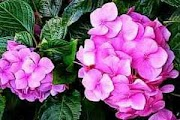 Picture of Pink Hydrangeas Blooms