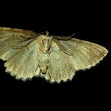Geometridae : Sterrhinae : Idaea ferrilinea WARREN, 1900 (verso). Umina Beach (NSW, Australie), 31 octobre 2011. Photo : Barbara Kedzierski