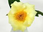 淡黄色 一重 盃状咲き 肉厚 短い筒しべ 小輪