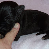 black girl w/white shield on chest @ 1 week/available