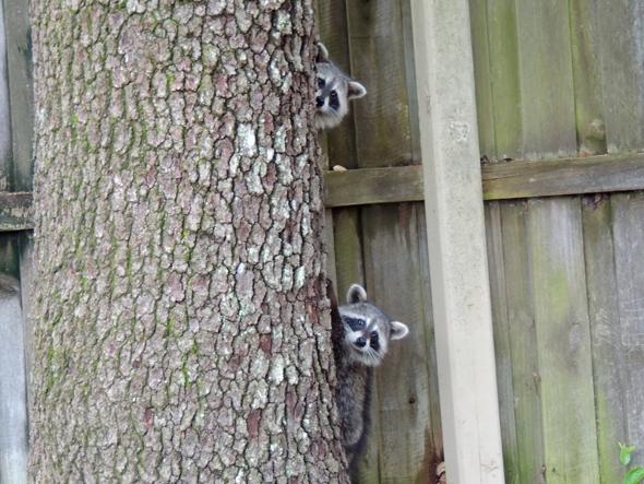 Mapaches escondidos en un árbol