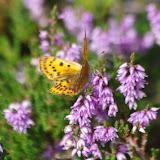 Heodes virgaurae (L., 1758), femelle. 1250 m, Paulhac-en-Margeride (Lozère), 19 août 2013. Photo : J.-M. Gayman