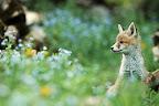 VUE SUR MYOSOTIS   Renardeau devant le terrier fleuri!