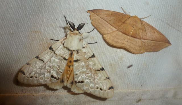À gauche : Lymantriidae : Lymantica velutina (MABILLE, 1879), endémique. À droite : non identifié. Saha Forest Camp, Anjozorobe (Madagascar). 2 janvier 2014. Photo : T. Laugier