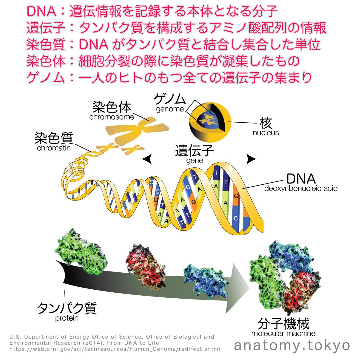 t112-18-遺伝子(ジーン-gene)・ゲノム.png