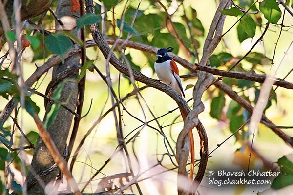 Asian Paradise Flycatcher [Sub-Adult Male] hidden in branches