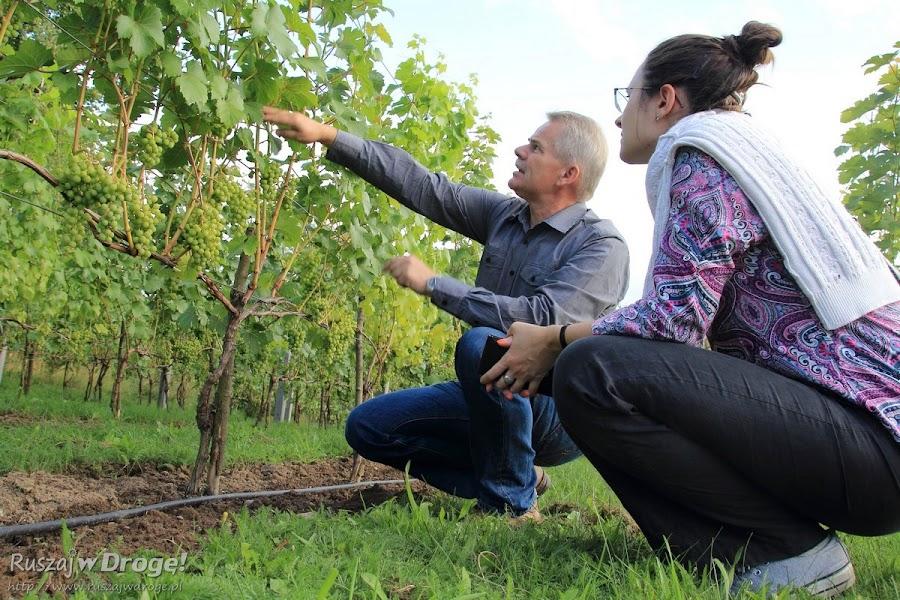 Podziwiamy kociewską winnicę Marka Wysockiego w Miradowie