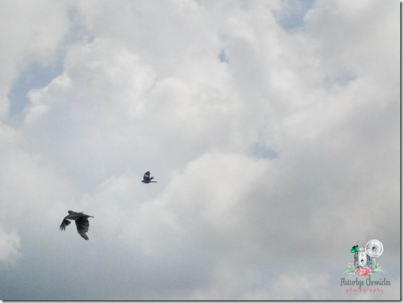 Mocking Bird Going After Hawk