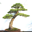 26 Pinus morissonicola.JPG