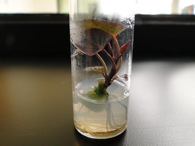 cultivo de meristemas para obtencion de batata libre de virus - 0015.JPG