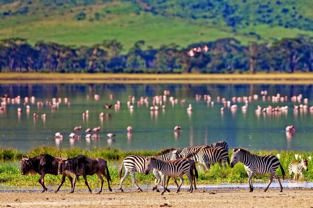 Zebras Wildebeests Flamingos, Ngorongoro Crater, Tanzania
