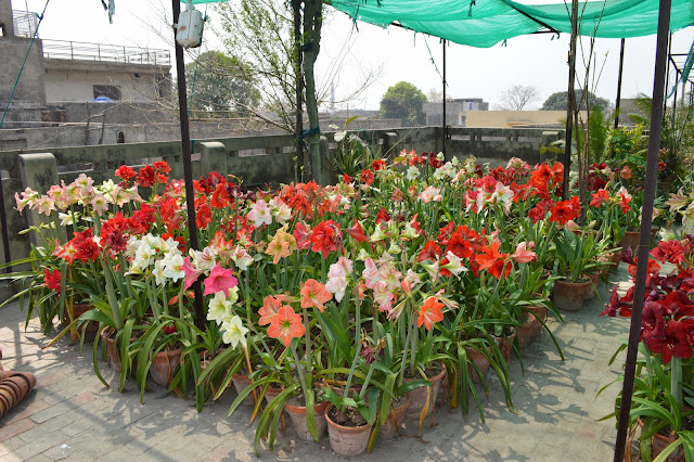 Pakistan Gardening Forum  View Topic Wahid Malak Amaryllis Garden - House garden pictures in pakistan