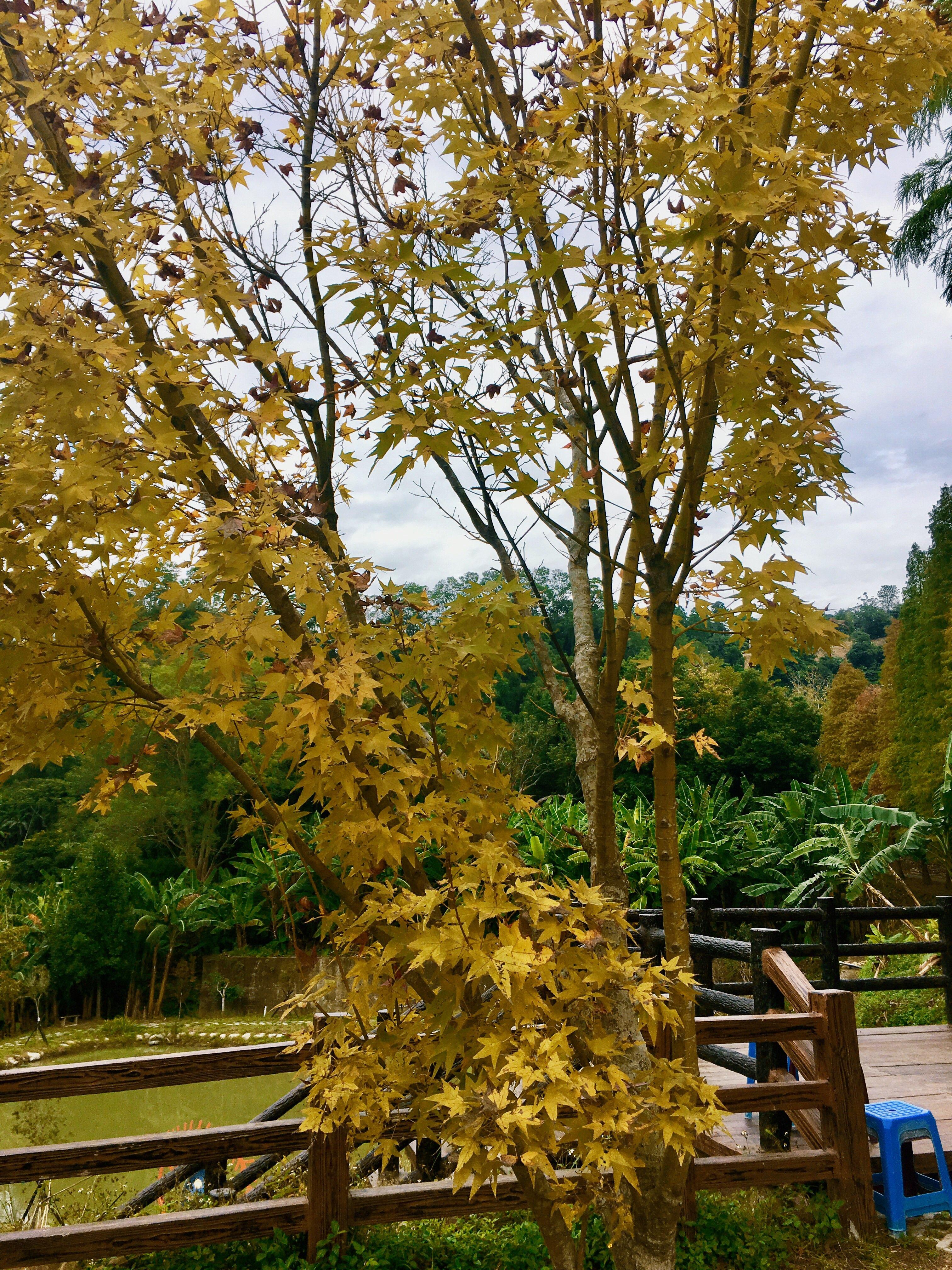 beipu liutang bald cypress trees hsinchu Taiwan mapple tree
