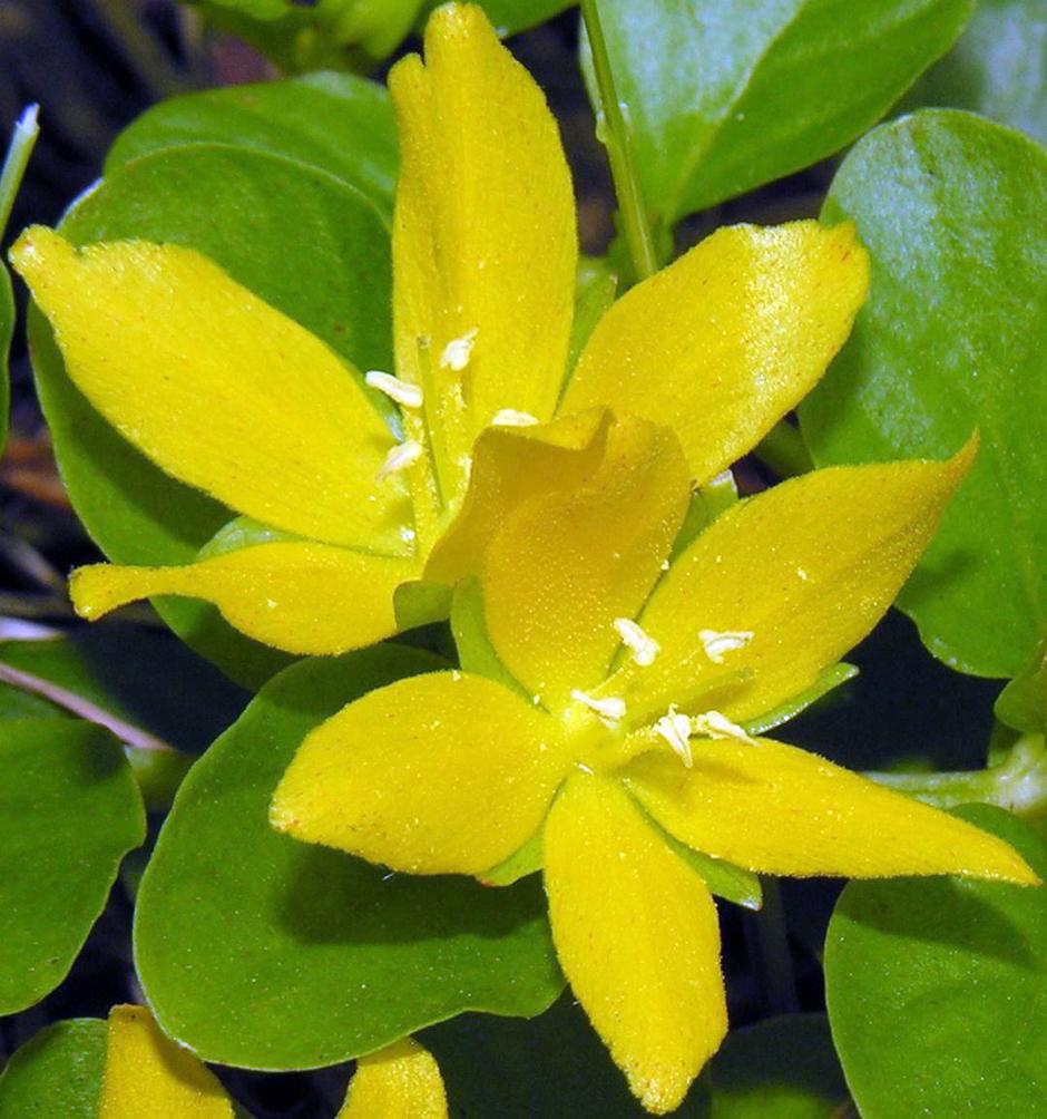Вербейник луговой чай (Вербейник монетчатый) (Lysimachia nummularia)
