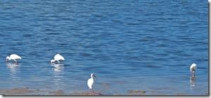 American White Ibis, Crystal Beach, Fl