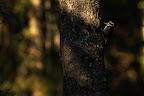 AU SOLEIL   Pic tridactyle à la frontière franco-suisse