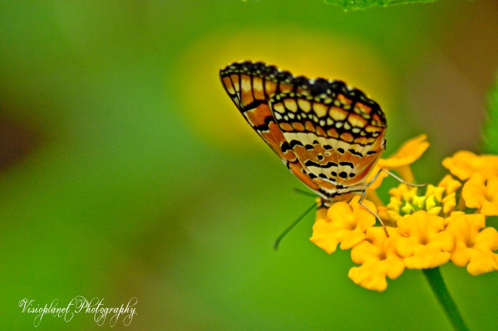 Like a monarch by Sudipto Sarkar on Visioplanet