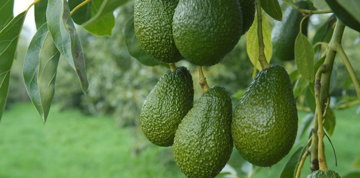 Avocados never ripen on trees.