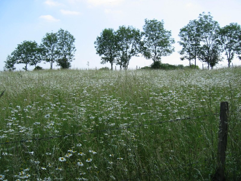 5 daisy field