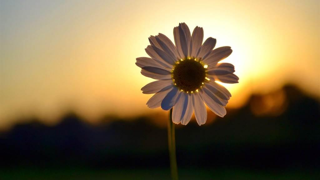 hoa, flower