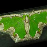 Geometridae : Geometrinae : Anisozyga insperata WALKER, 1861, femelle. Umina Beach (N. S. W.), 21 novembre 2011. Photo : Barbara Kedzierski