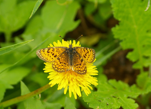 Melitaea cinxia oasis HUANG & MURAYAMA, 1992, femelle (2500 m). Baisha (Nord de Lijiang, Yunnan), 18 août 2010. Photo : J.-M. Gayman