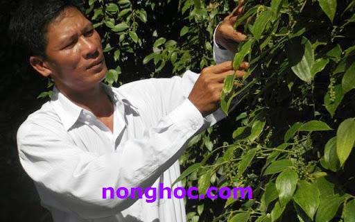 Anh Trần Hữu Thắng chăm sóc vườn tiêu của gia đình.