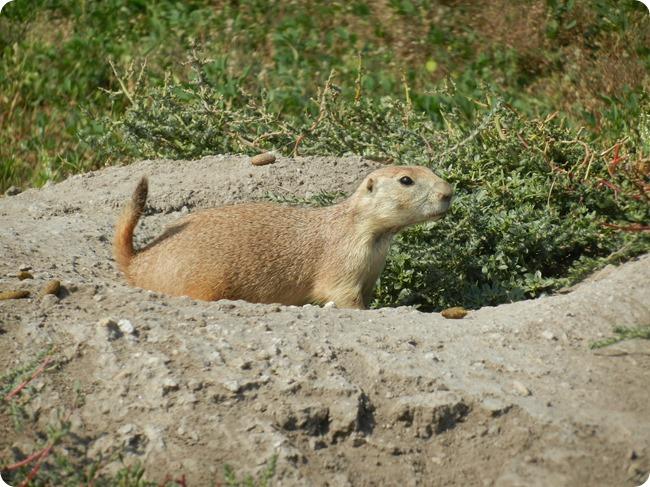 IMG_1092a Prairie Dog (6)