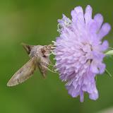Noctuidae : Plusiinae : Autographa gamma (LINNAEUS, 1758). Hautes-Lisières (Rouvres, 28), 7 juillet 2012. Photo : J.-M. Gayman