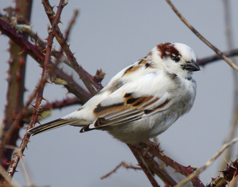 Prog-Greying-House-Sparrow