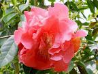 ローズレッド 八重咲き 弁は乱れ 大輪