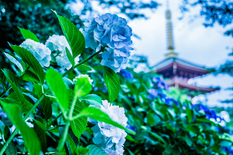 Hydrangea flowers at Takahatafudoson Kongoji Temple4