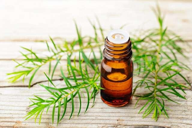 يساعد زيت شجرة الشاي في إصلاح بصيلات الشعر