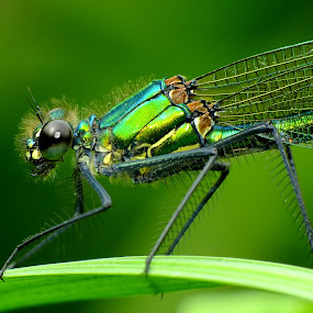 Female Banded Demoiselle by Pat Somers - Animals Insects & Spiders (  )