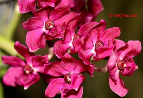 Растения из Тюмени. Краткий обзор - Страница 9 Rhynchostylis%252520gigantea%252520var%252520rubrum