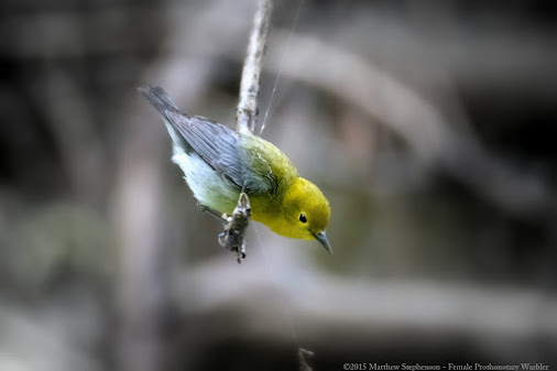 Female Prothonotary Warbler - Magee Marsh Wildlife Area  Female Prothonotary warbler colors are not ...