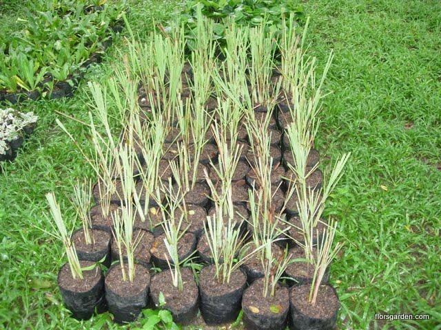 Lemon Grass (Tanglad)